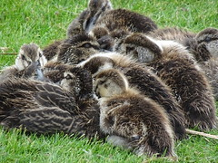 A Big Pile of Baby Duck