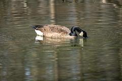 Canada Goose - Stumpy Lake  (12 of 49)