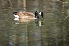 Canada Goose - Stumpy Lake  (10 of 49)