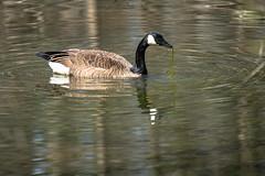 Canada Goose - Stumpy Lake  (7 of 49)
