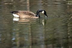 Canada Goose - Stumpy Lake  (6 of 49)