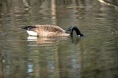 Canada Goose - Stumpy Lake  (4 of 49)