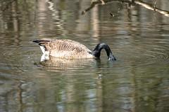 Canada Goose - Stumpy Lake  (25 of 49)