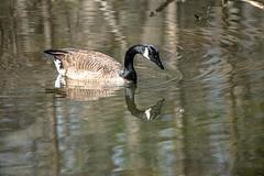 Canada Goose - Stumpy Lake  (19 of 49)