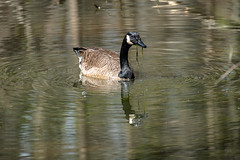 Canada Goose - Stumpy Lake  (48 of 49)