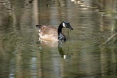 Canada Goose - Stumpy Lake  (45 of 49)