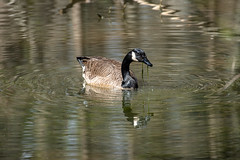 Canada Goose - Stumpy Lake  (44 of 49)