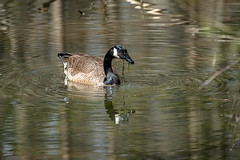 Canada Goose - Stumpy Lake  (43 of 49)