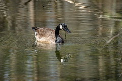Canada Goose - Stumpy Lake  (42 of 49)