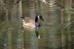 Canada Goose - Stumpy Lake  (40 of 49)