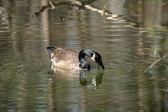 Canada Goose - Stumpy Lake  (36 of 49)