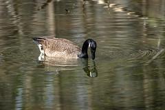 Canada Goose - Stumpy Lake  (33 of 49)