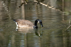 Canada Goose - Stumpy Lake  (31 of 49)
