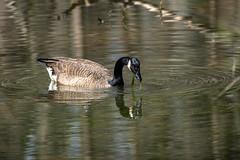 Canada Goose - Stumpy Lake  (29 of 49)
