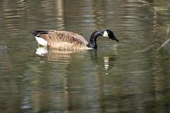 Canada Goose - Stumpy Lake  (14 of 49)
