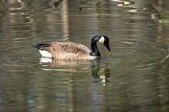 Canada Goose - Stumpy Lake  (9 of 49)