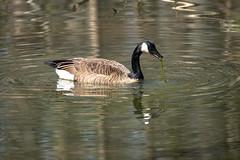 Canada Goose - Stumpy Lake  (8 of 49)