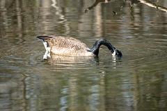 Canada Goose - Stumpy Lake  (24 of 49)