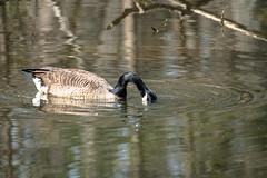 Canada Goose - Stumpy Lake  (23 of 49)