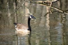 Canada Goose - Stumpy Lake  (17 of 49)