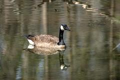 Canada Goose - Stumpy Lake  (16 of 49)