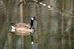 Canada Goose - Stumpy Lake  (15 of 49)
