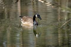 Canada Goose - Stumpy Lake  (41 of 49)