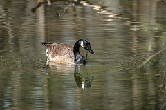 Canada Goose - Stumpy Lake  (39 of 49)