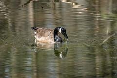 Canada Goose - Stumpy Lake  (38 of 49)