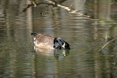 Canada Goose - Stumpy Lake  (37 of 49)