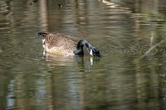 Canada Goose - Stumpy Lake  (35 of 49)