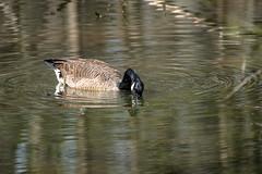 Canada Goose - Stumpy Lake  (34 of 49)