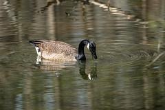 Canada Goose - Stumpy Lake  (32 of 49)
