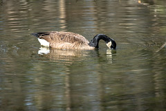 Canada Goose - Stumpy Lake  (13 of 49)
