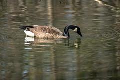 Canada Goose - Stumpy Lake  (5 of 49)