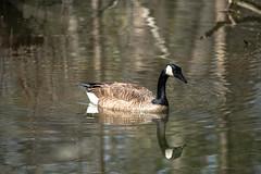 Canada Goose - Stumpy Lake  (1 of 49)