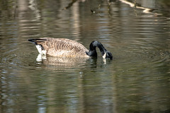 Canada Goose - Stumpy Lake  (28 of 49)