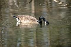 Canada Goose - Stumpy Lake  (27 of 49)