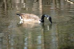 Canada Goose - Stumpy Lake  (26 of 49)
