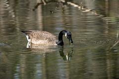 Canada Goose - Stumpy Lake  (30 of 49)