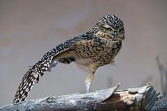 Burrowing owl on one leg