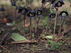 Helleborus dark 3