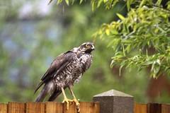Redhill Garden/Wildlife Centre - Satisfied Sparrowhawk