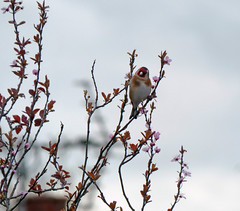 Goldfinch & blossom