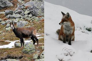 High Tatras wildlife like chamois and fox