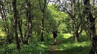 Birch forest in spring.