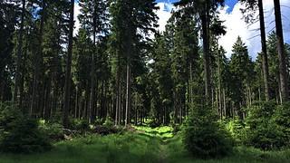 Beautyful spruce forest