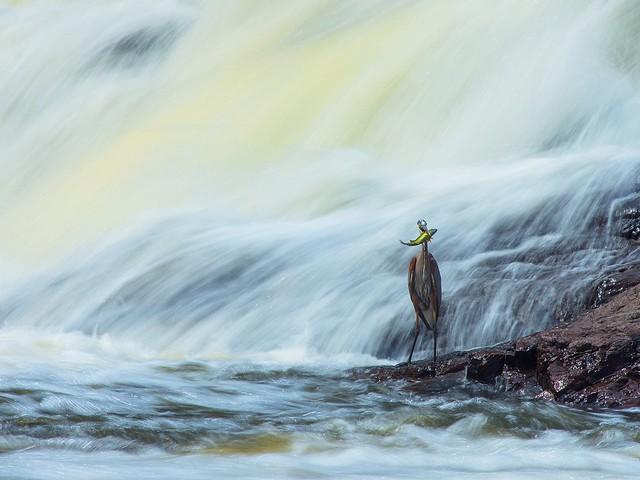 Héron et son poisson Parc Rivière du Nord