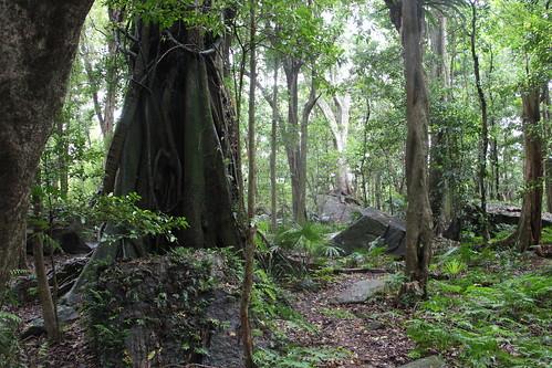 Moreton Bay Fig (Ficus macrophylla) on left
