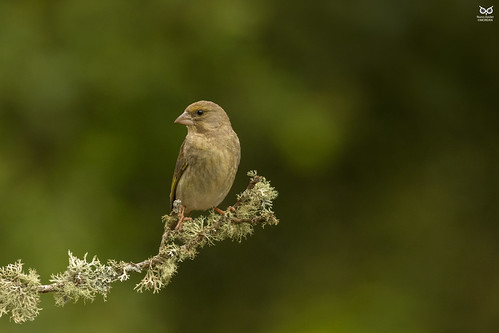 Verdilhao, European Greenfinch (Carduelis chloris)